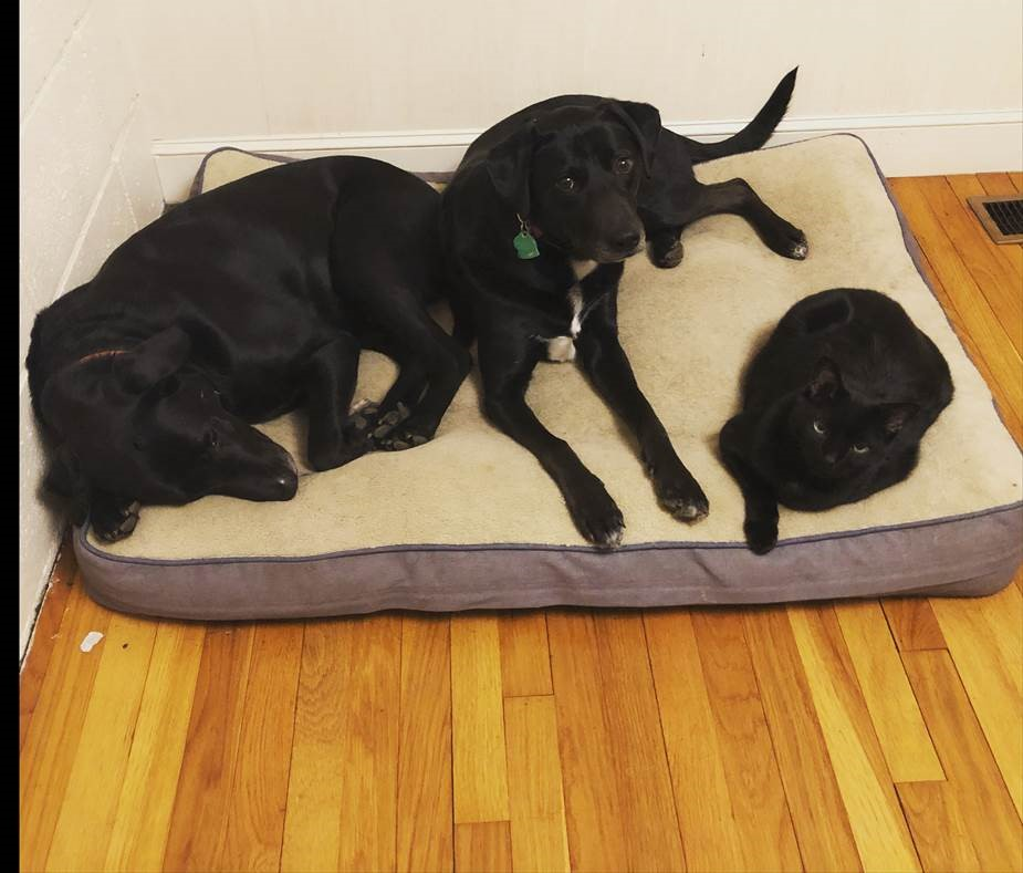 Andante, Allegra, and Parker Frentzen. Two black labs and a black cat sleeping on a dog bed.